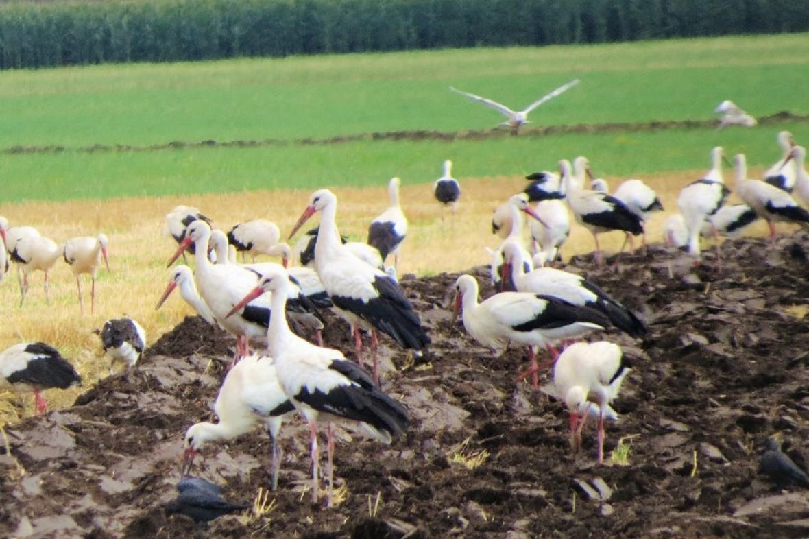 Obrovská hejna čápů obsadila pole na střední Moravě