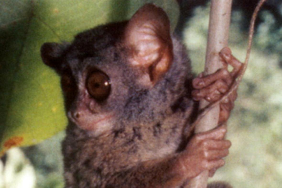 Tarsius niemitzi