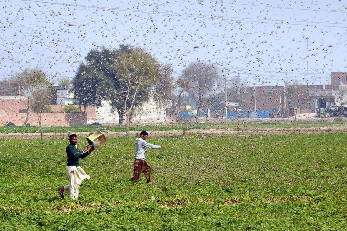 Pákistánští farmáři v záplavě kobylek