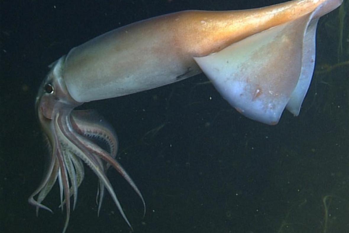 Kalmar peruánský