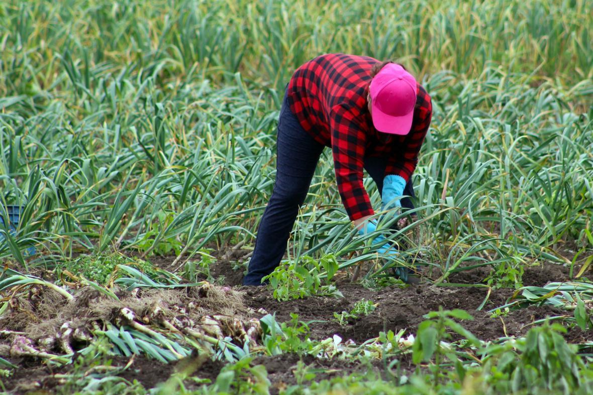 Ruční sklizeň cibule v Polabí