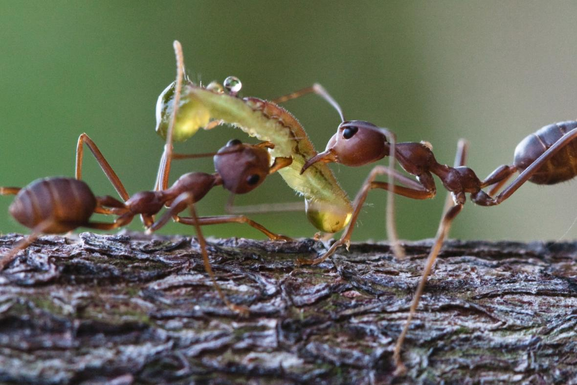 Mravenci krejčíci