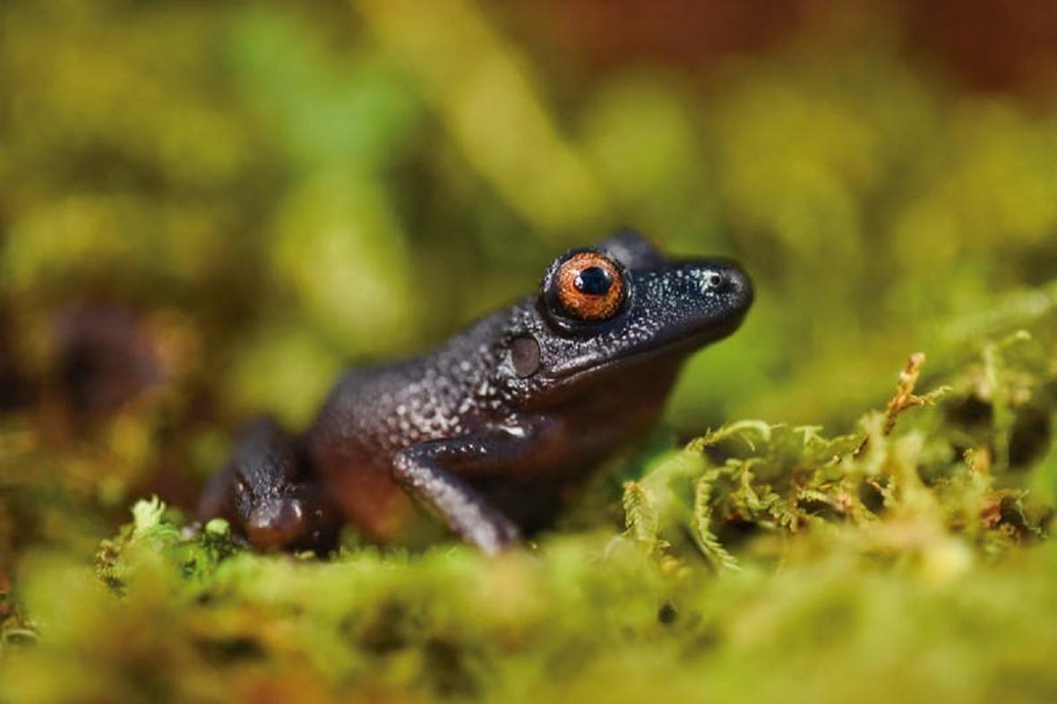 Žába Oreobates zongoensis