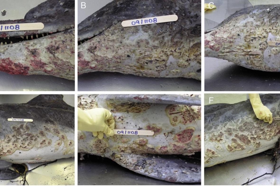 Poškození kůže u delfínů