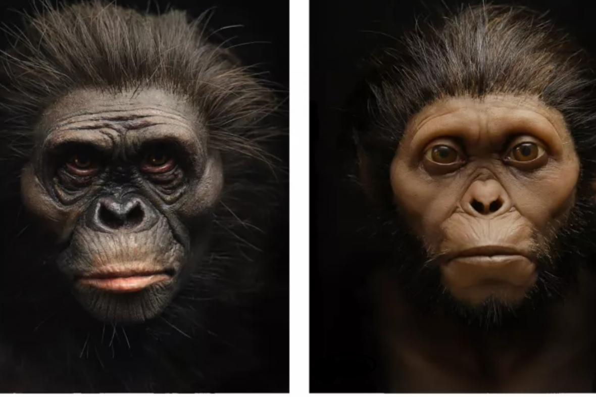 Rekonstrukce Lucy (vlevo) a Taungského dítěte (vpravo)