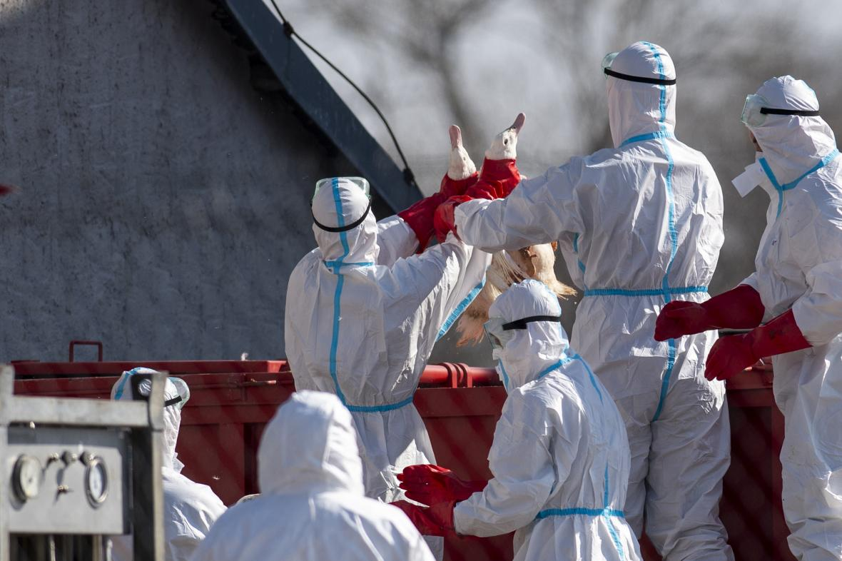 Likvidace chovu kvůli ptačí chřipce (snímek z března 2021)