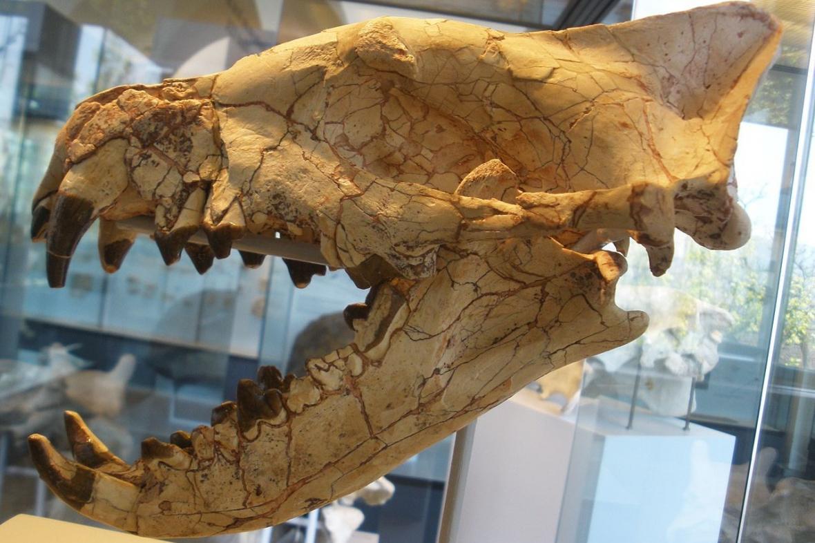Lebka hyeaenodona, predátora, který vyhynul před asi 30 miliony lety