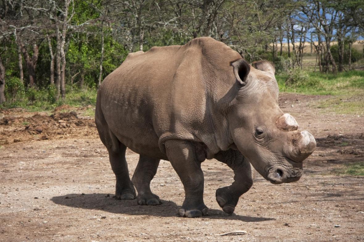 Jeden ze sedmi posledních nosorožců bílých severních (foto z roku 2012)