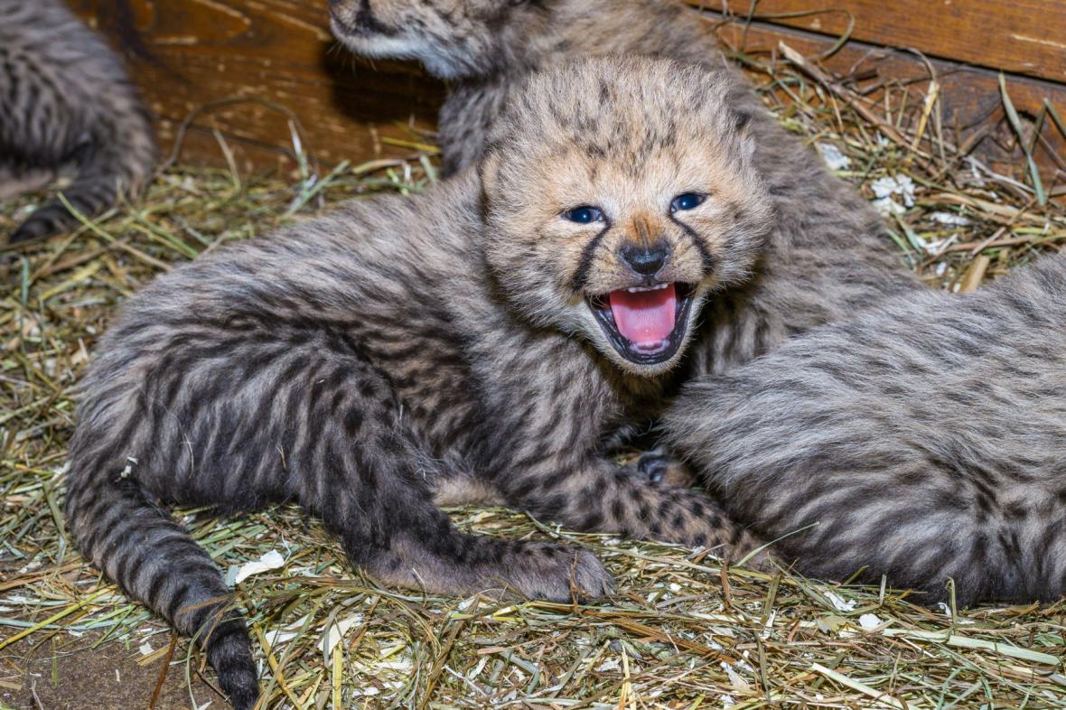 Gepardí mládě