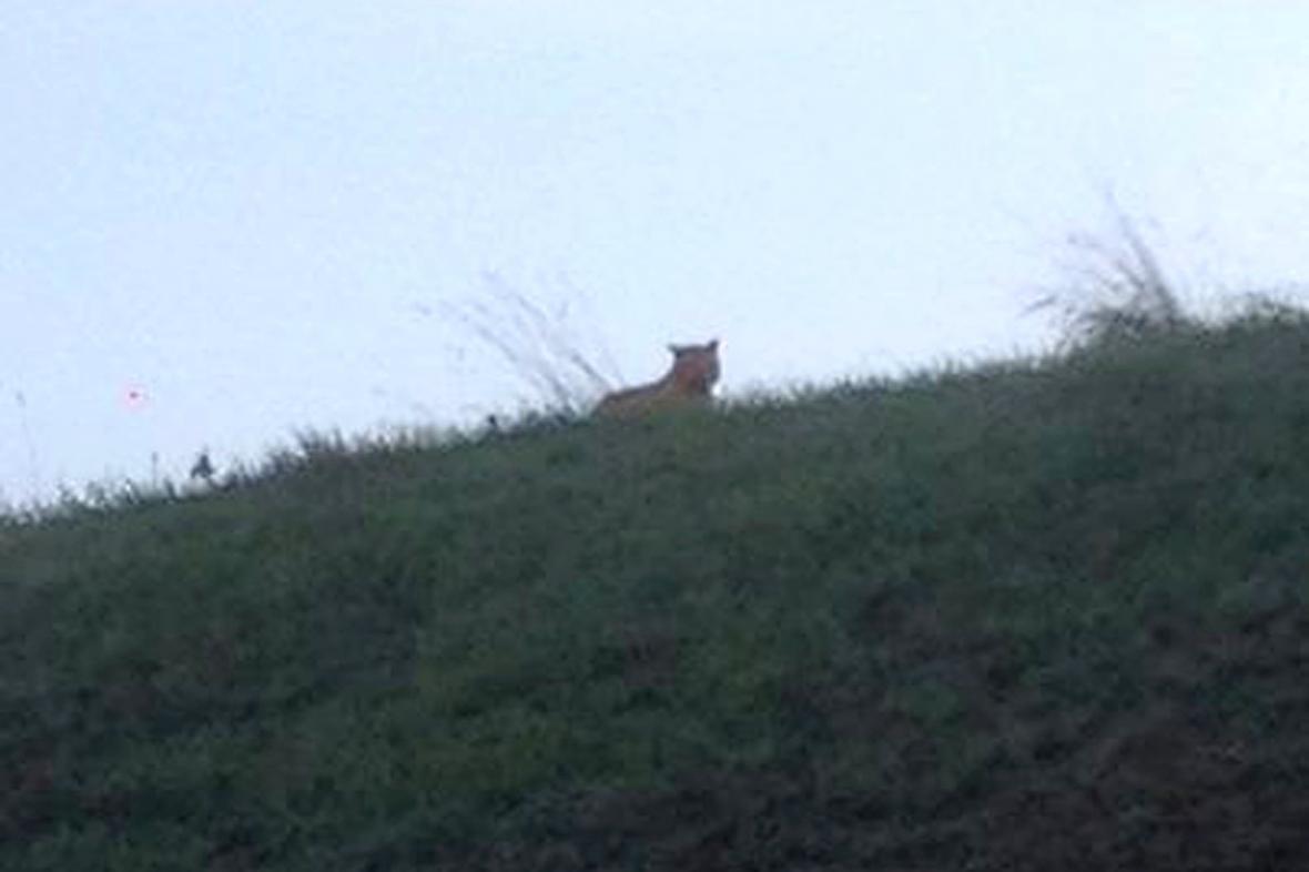 Ve Francii hledají tygra