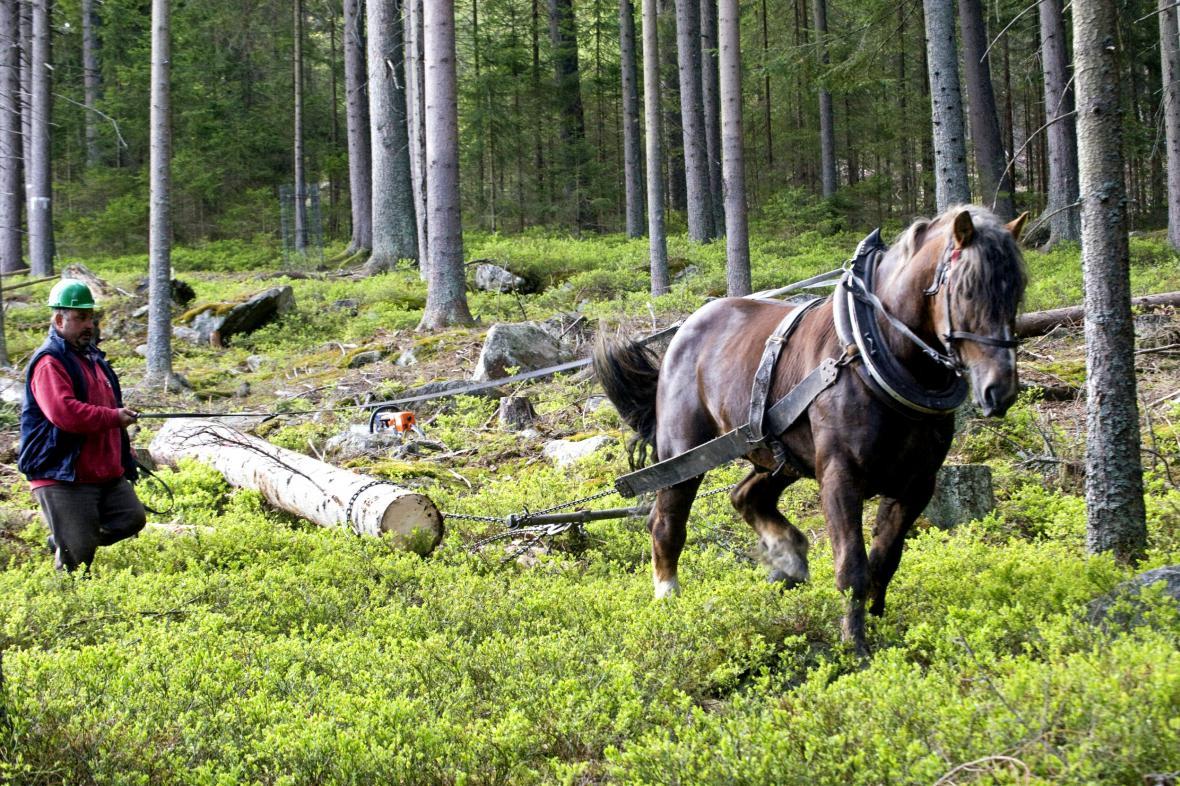 S odvozem dřeva pomáhají na Šumavě koně