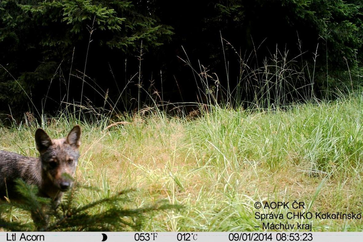 Fotopast zachytila vlka