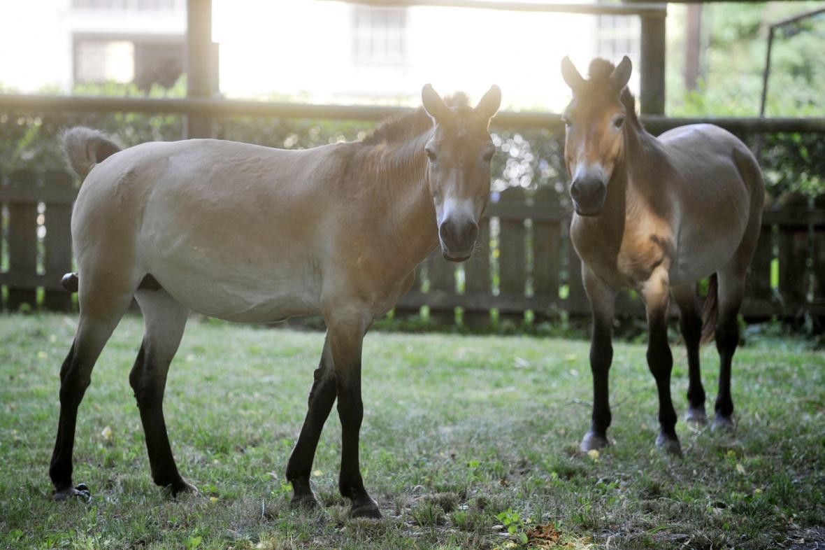 Pár koní Převalského ze Slatiňan