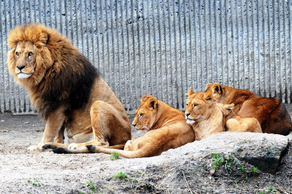 Lvi v kodaňské zoo