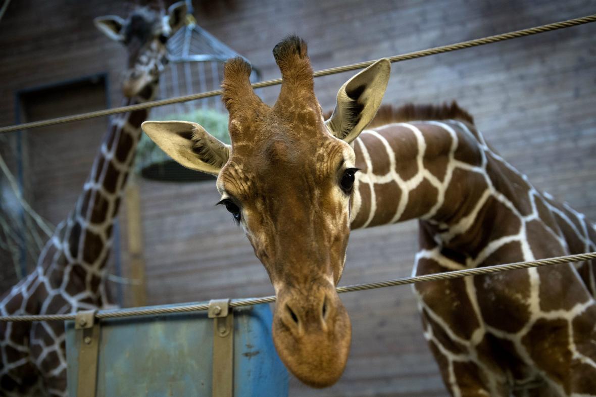 Žirafí samec Marius