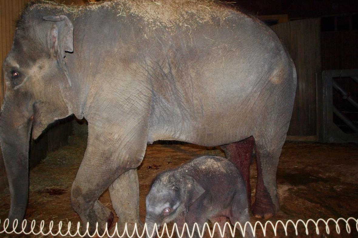 Slonice Vishesh s mládětem