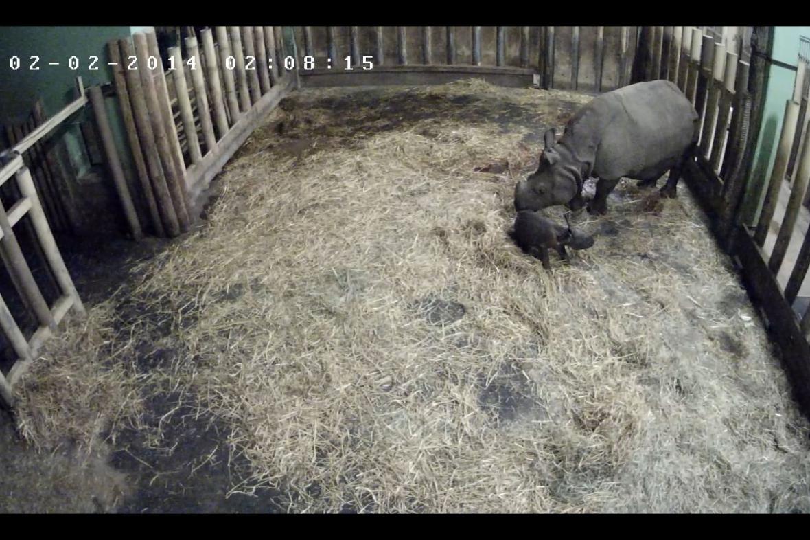 Mládě nosorožce zhruba tři čtvrtě hodiny po narození