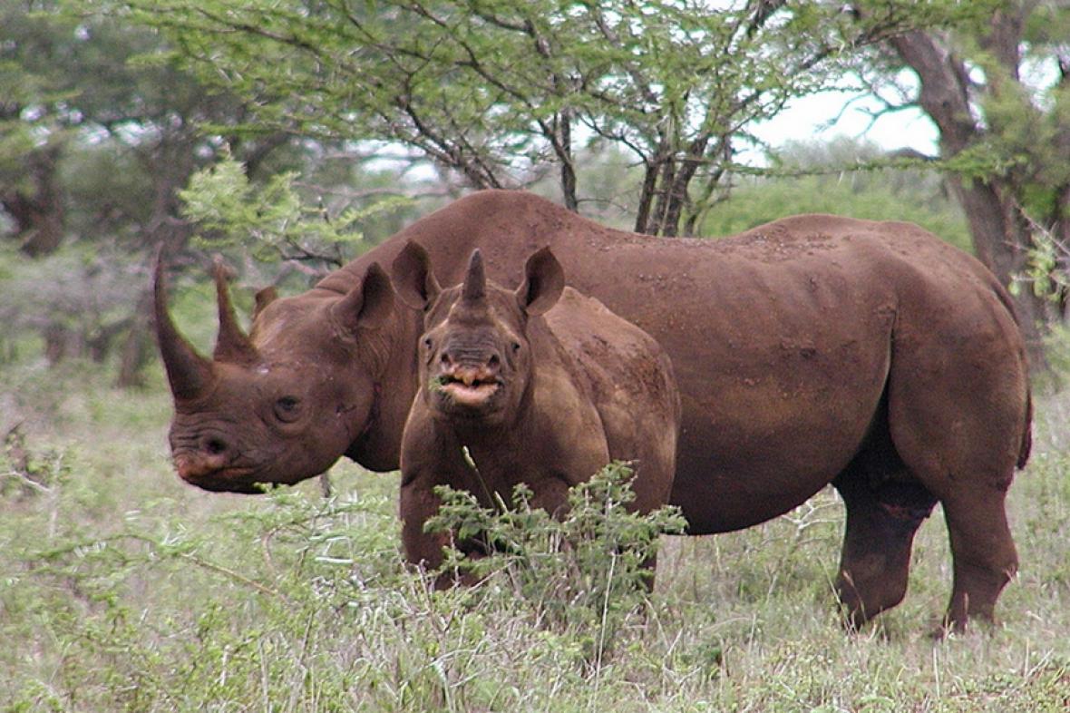 Nosorožec dvourohý (černý) ve volné přírodě