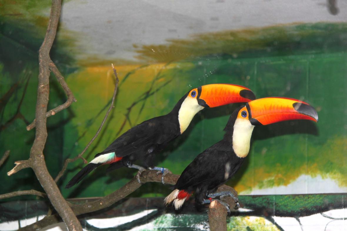Tukani obrovští