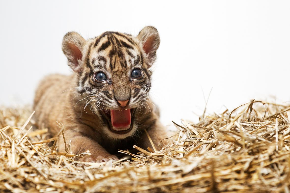 Mládě tygra sumaterského z pražské zoo
