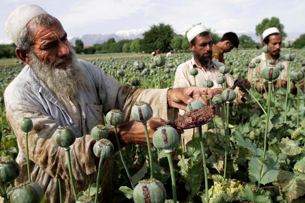 Sklizeň opia v Afghánistánu