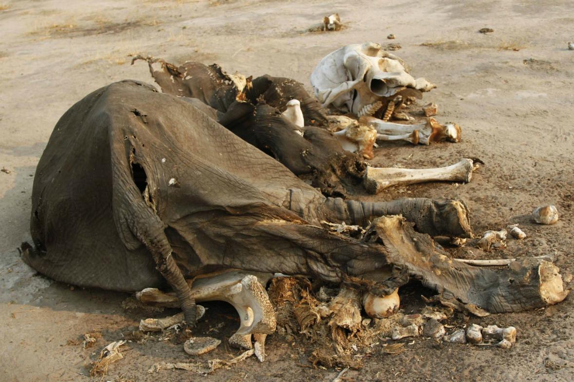 Mrtvý slon v zimbabwském národním parku Hwange