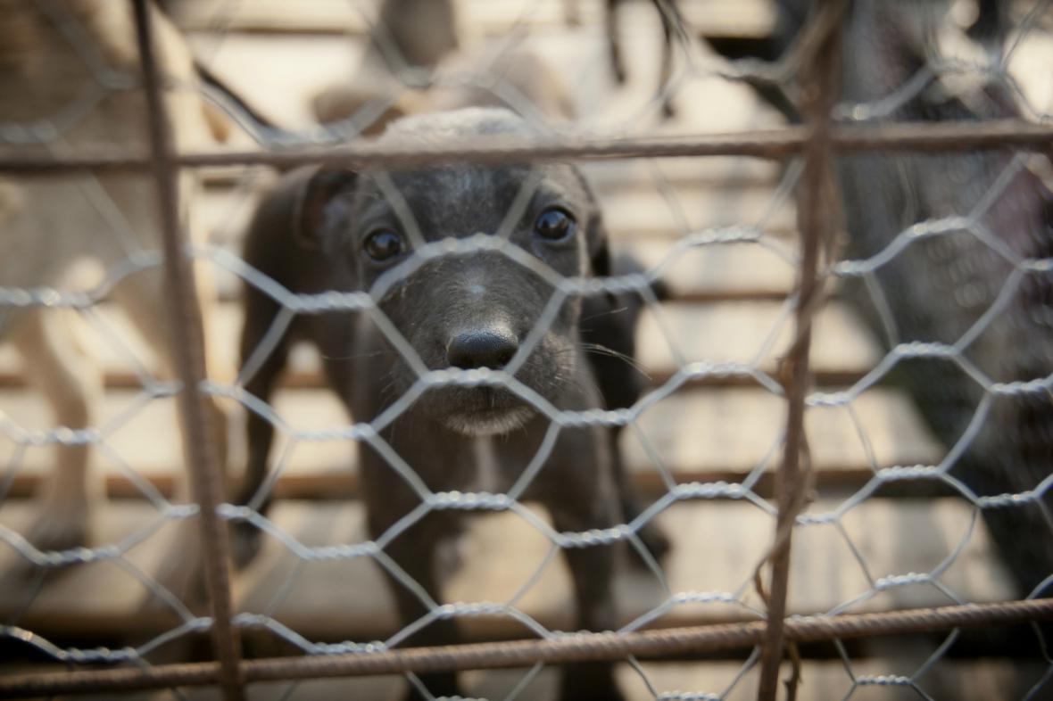 Rumunský toulavý pes