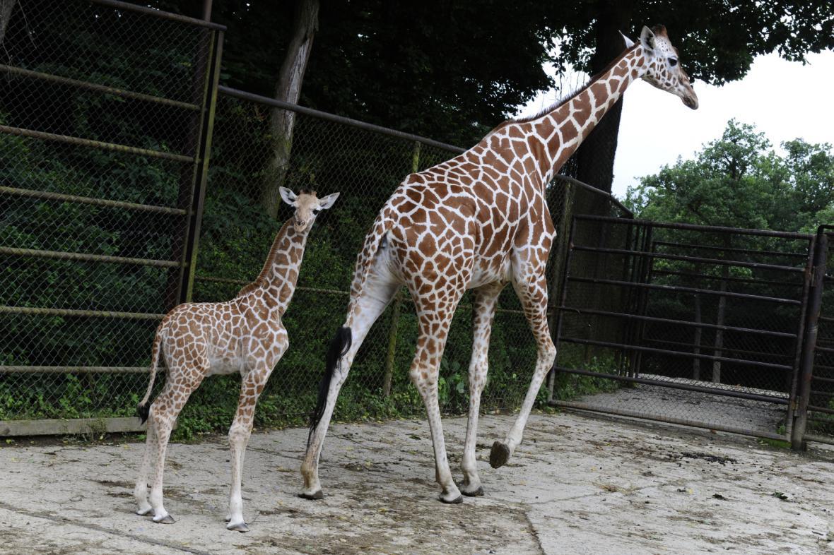 Žirafy v brněnské zoo