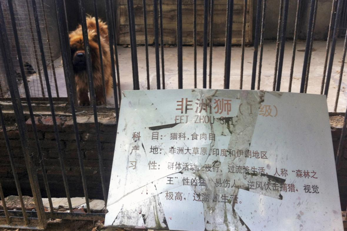 V čínské zoo zaskočil za chybějícího lva pes
