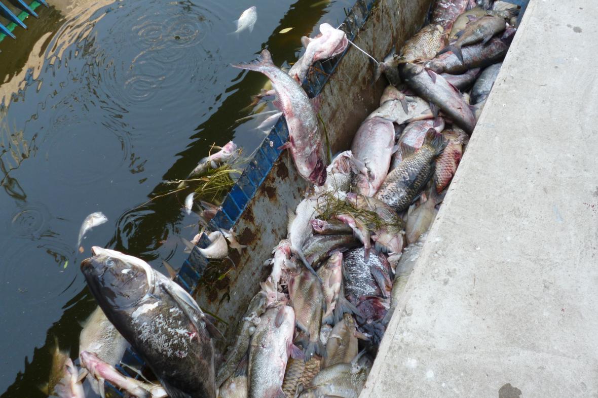 Mrtvé ryby na jezu v Bulharech