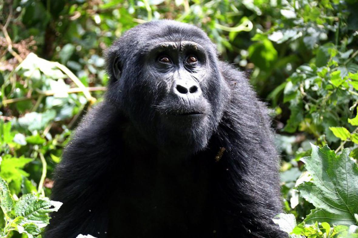 Gorila horská z národního parku Bwindi