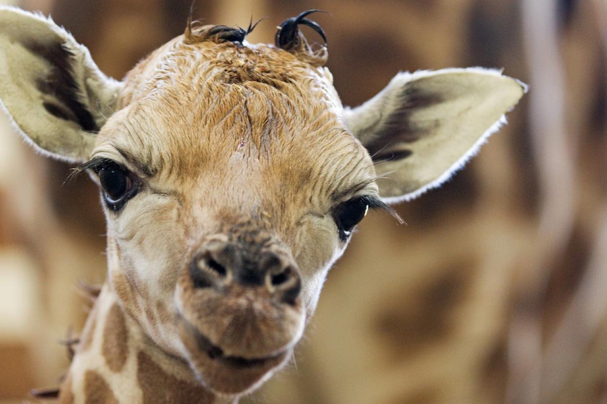 Novorozené žirafí mládě v Zoo Praha