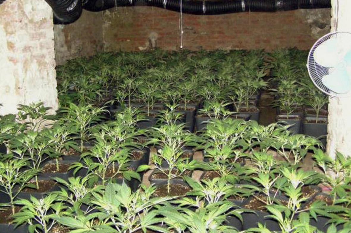 Nelegální pěstírna v Cholticích