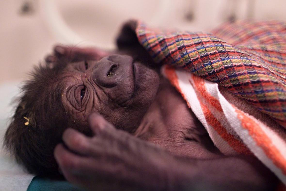 Novorozená gorila