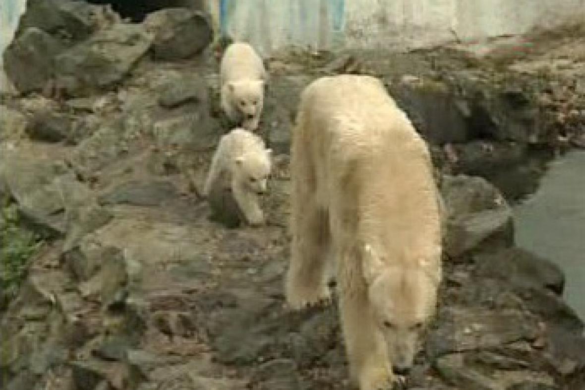 Medvědice Cora s mláďaty