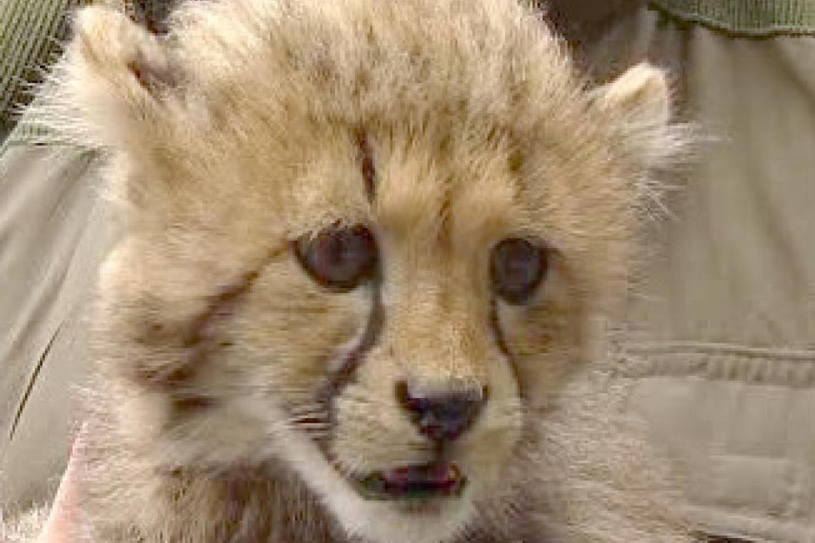 Mládě geparda