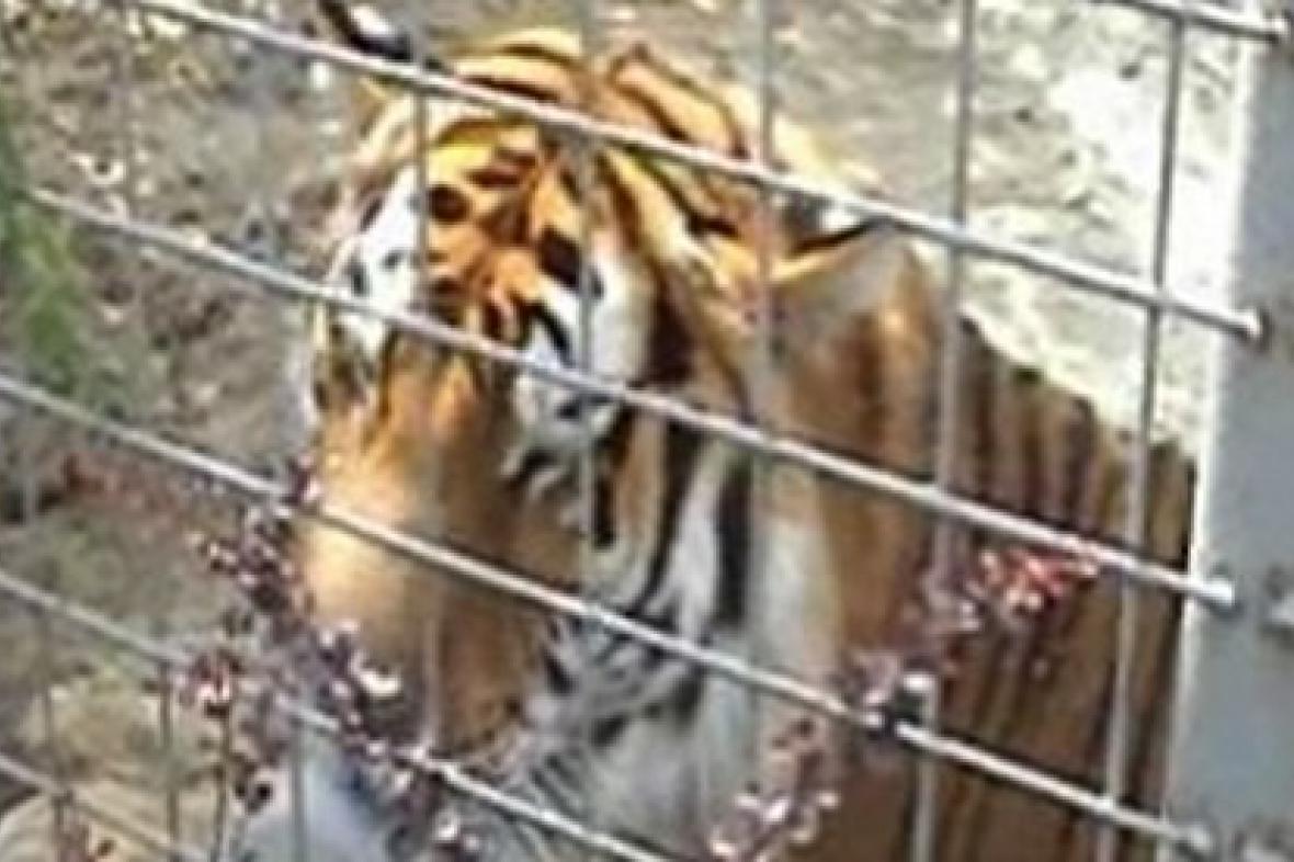 Tygr v habrkovické zoo