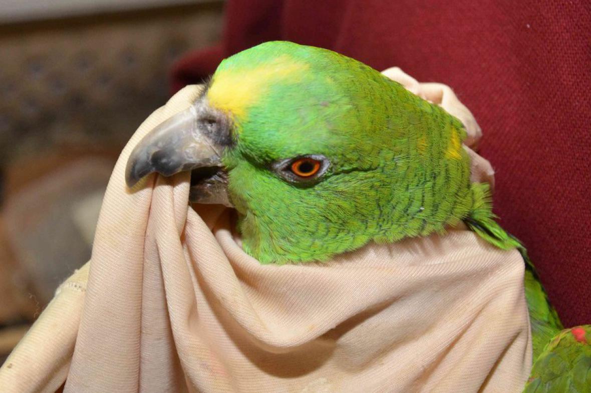 Zabavený papoušek