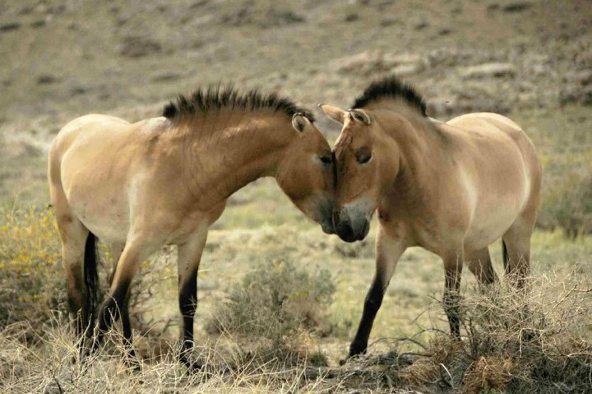Čeští koně Převalského v Mongolsku