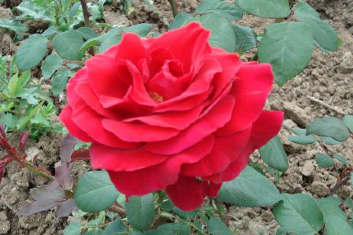 Mahlerova růže