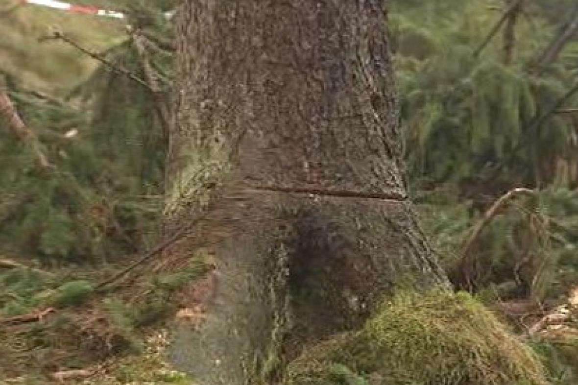 Naříznutý strom