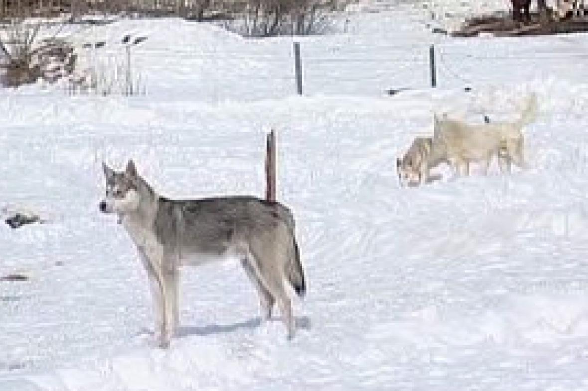 Divocí psi