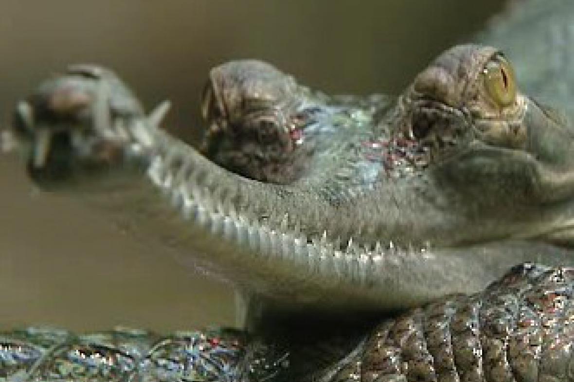 Krokodýl gaviál