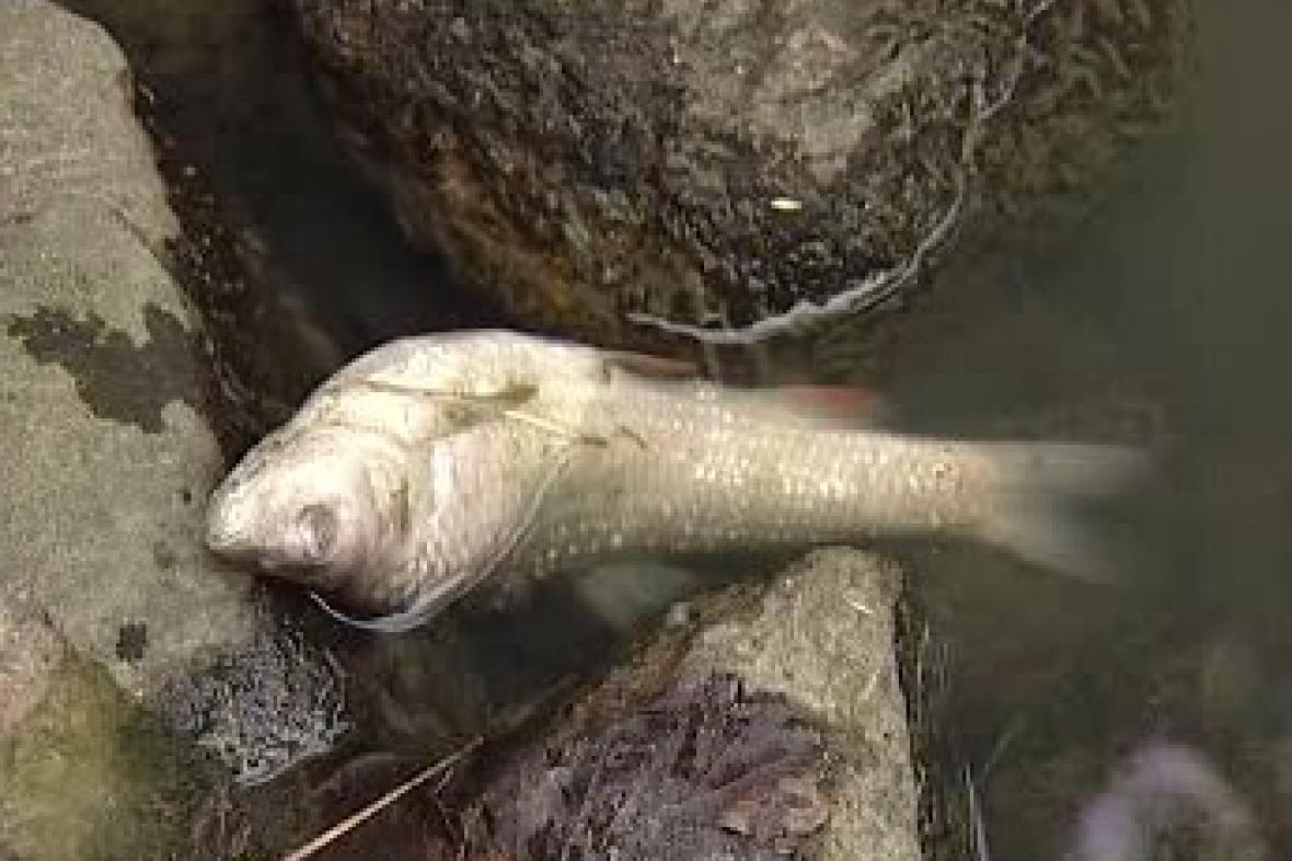 Uhynulá ryba