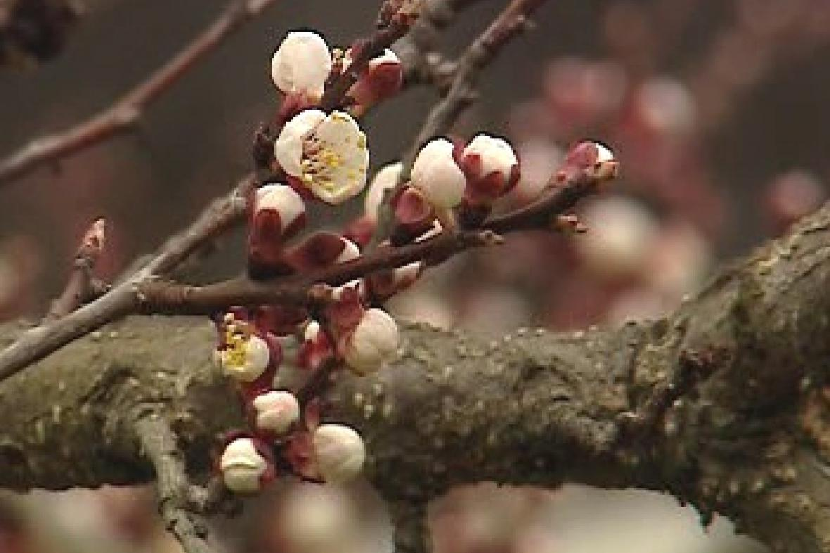 Kvetoucí strom