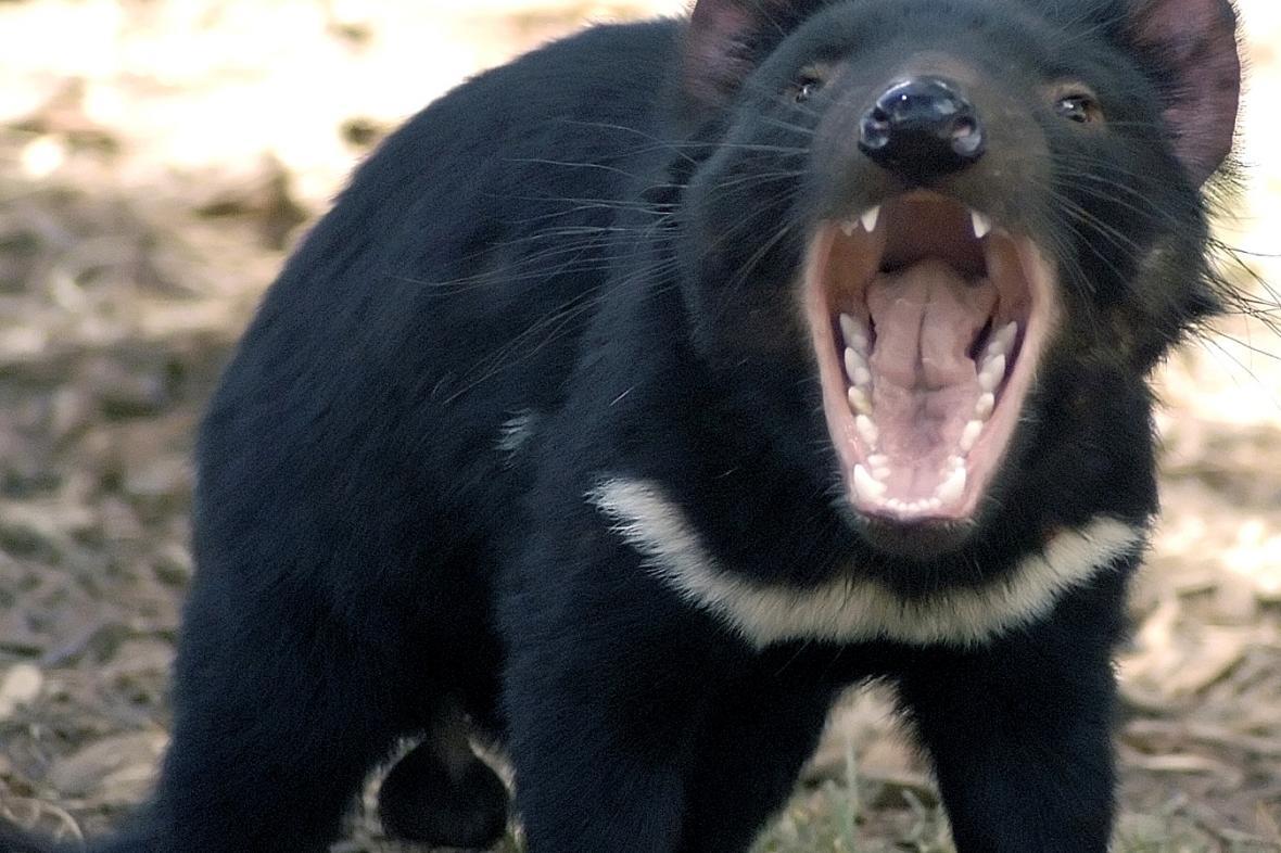Ďábel medvědovitý