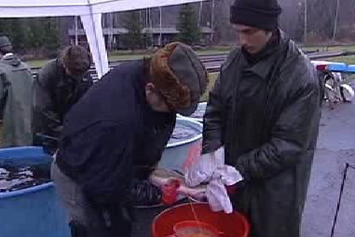 Rybáři získávají jikry
