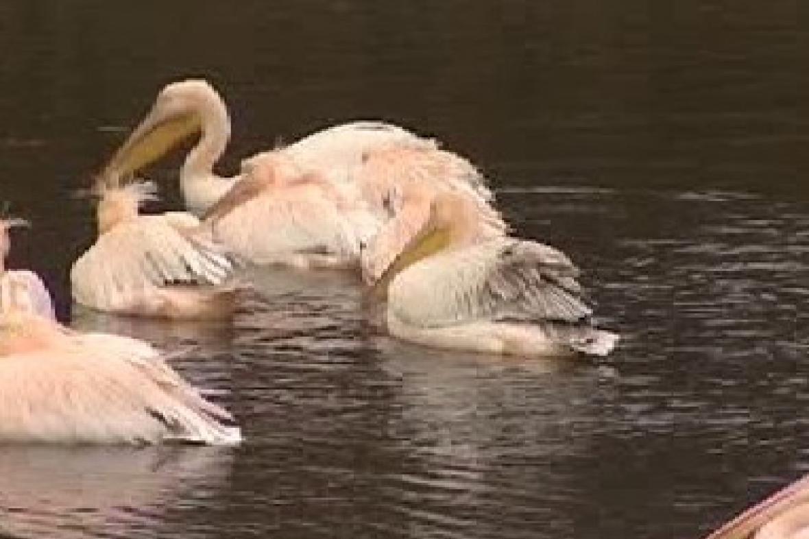 Rodina pelikánů