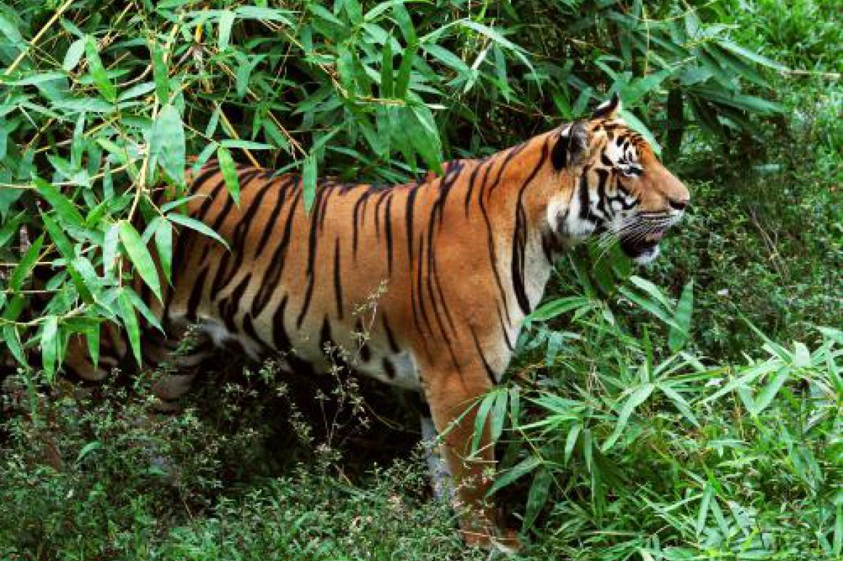 Tygr Kawi