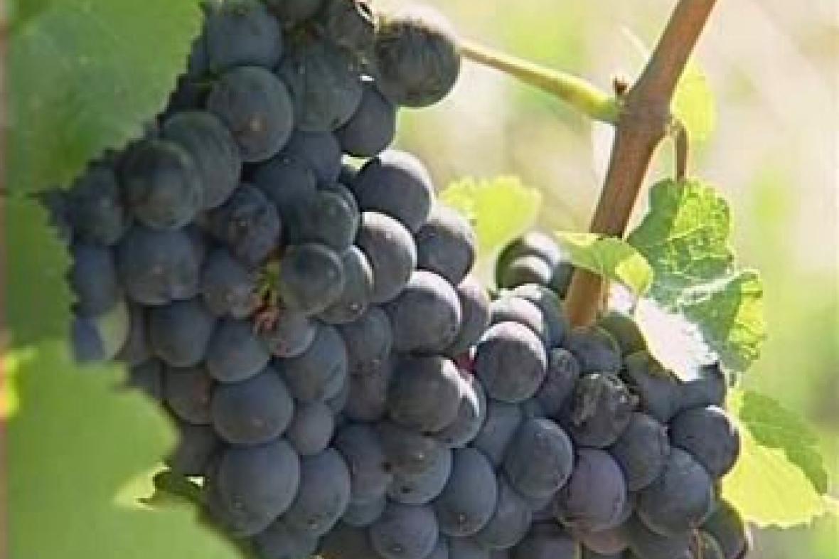 Hrozen vína
